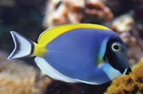Powderblue Tang