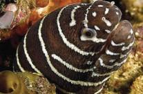 Zebra Moray