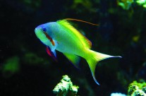 Huchitis Anthias