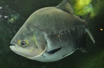 Pacu Piranha