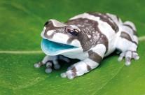 Milk Frog
