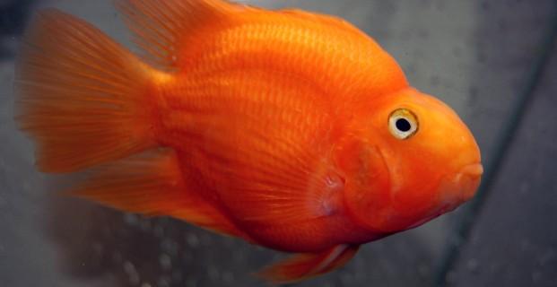 red parrot cichlid ocean aquarium big aquarium tunnel aquarium