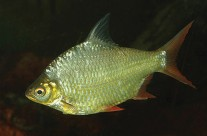 Red Tailed Tinfoil Barb