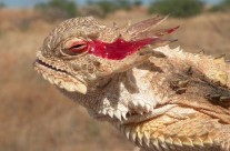 Texas Horned Lizard